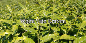 What Is White Vein Kratom